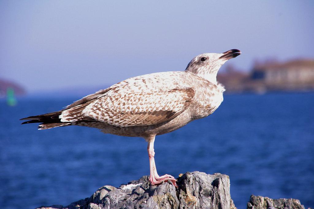 west coast gull