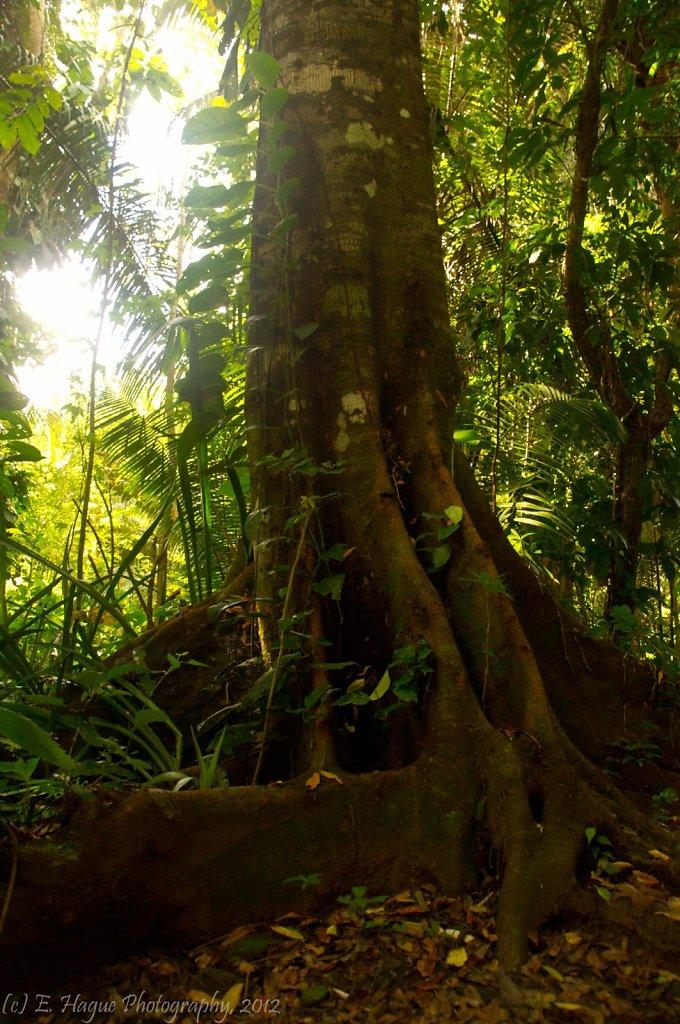 saba tree